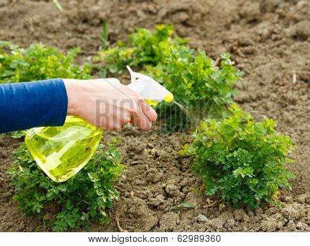 Parsley Watering