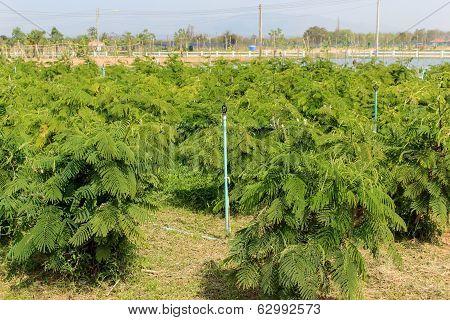 Acacia Pennata Tree,thailand.
