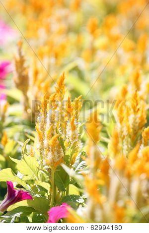 Yellow Cockscomb Flower.