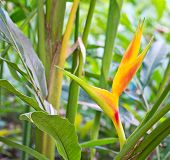 image of heliconia  - Tropical Heliconia. It is a flower background