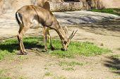 pic of fynbos  - A young bontebok eating grass - JPG