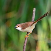 picture of babbler  - Beautiful Brown and white bird  - JPG