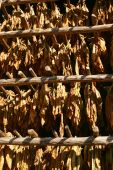 image of tobacco barn  - Tobacco leaves drying in the barn in Vinales countryside Cuba - JPG