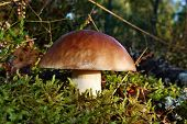 pic of boletus edulis  - Mushroom boletus edulis in the forest on the moss - JPG