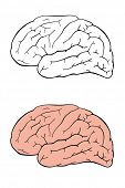 Human brain side view vector drawing. Outline and fill.