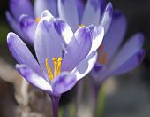 picture of rare flowers  - Purple crocus flowers in spring - JPG