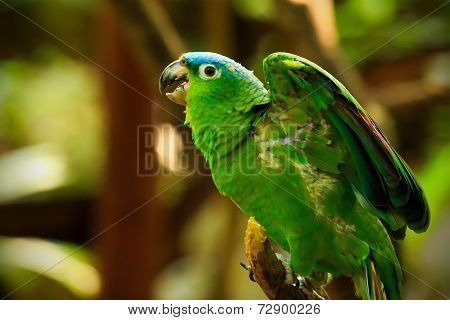 Portrait Of Blue-fronted Parrot