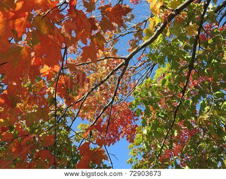 Colorful fall leaves on Tree Starting to Change