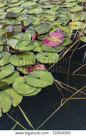 Red And Green Lily Pads.
