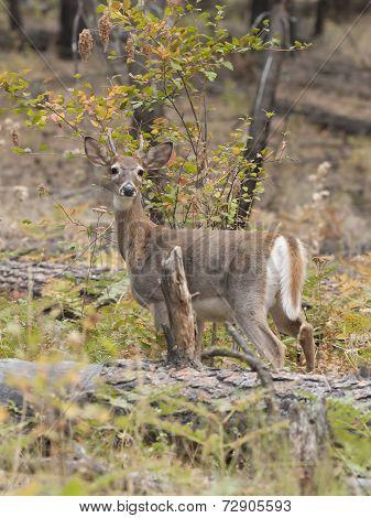 Deer By The Log.