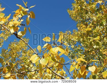Yellow Autumn Poplars