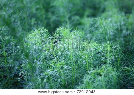 Close U Of Green Dill