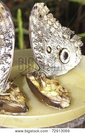 Pair of giant Caligo oileus, the Oileus Giant Owl butterfly, amazonian rainforest