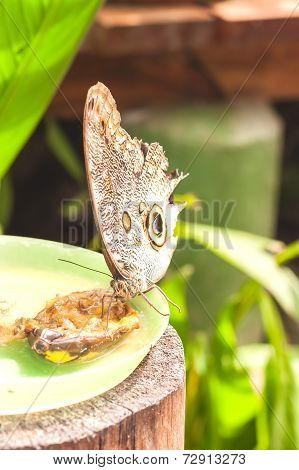 Giant Caligo oileus, the Oileus Giant Owl butterfly, amazonian rainforest