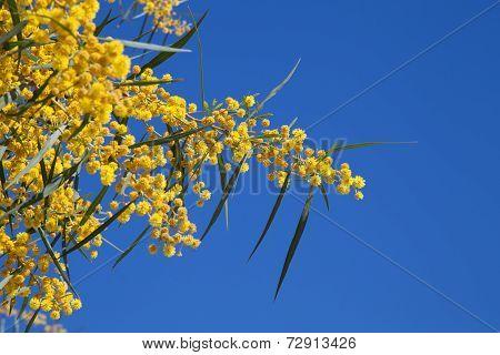 Flowers Of Golden Wattle. Acacia Pycnantha Macro Photo