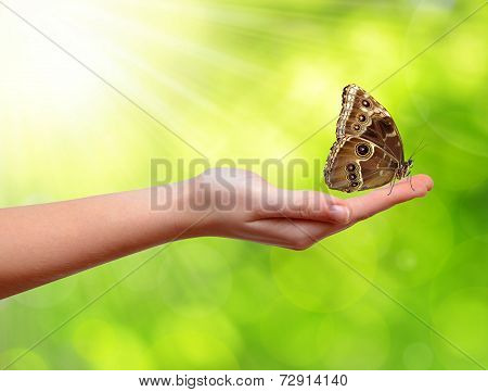 Butterfly Morpho sitting on the hand