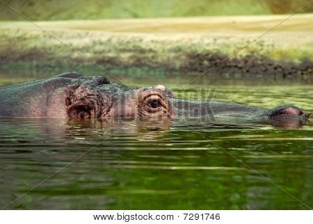 Sunk Hippo