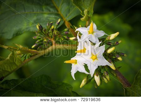 Close Up Shot Of Egg Plant Flower