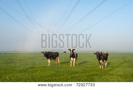 Cows Waiting For The Sun On Dewy Grass