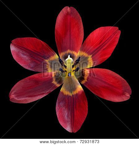 Open Red Lily Flower Isolated On Black Background