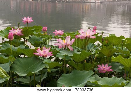 Lotus In Bloom In Beihai Park, Beijing