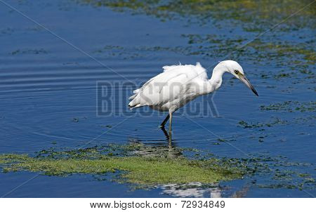 White Phase Little Blue Heron
