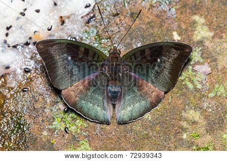 Male Malay Baron Butterfly On Ground