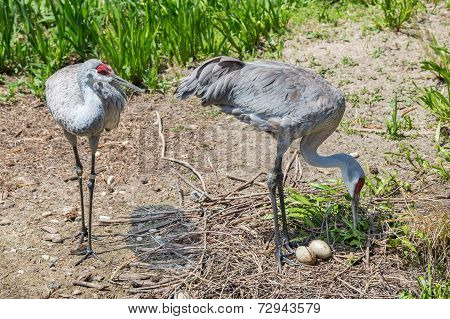 Mated Pair Of Sandhill Cranes With Eggs