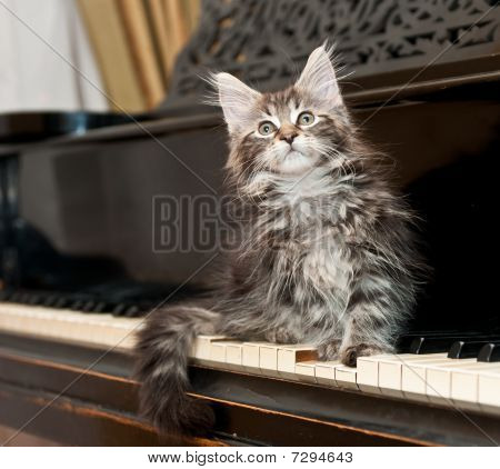 Maine Coon Kitten On A Piano