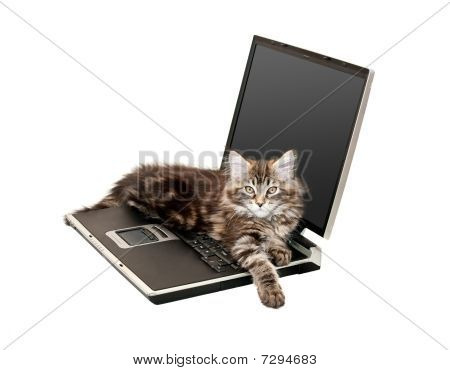 Maine Coon Kitten On Laptop