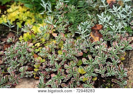 Saxifrages (stone-breaker)
