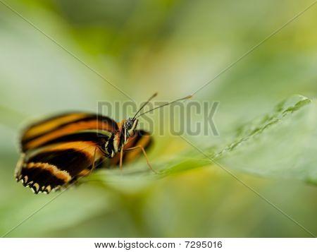 Banded Orange Heliconian (dryadula Phaetusa) Resting On A Plant