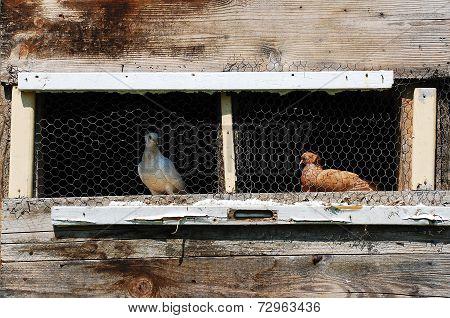 Pigeons In Pigeon Coop