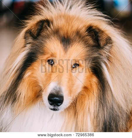 Red Rough Collie Dog
