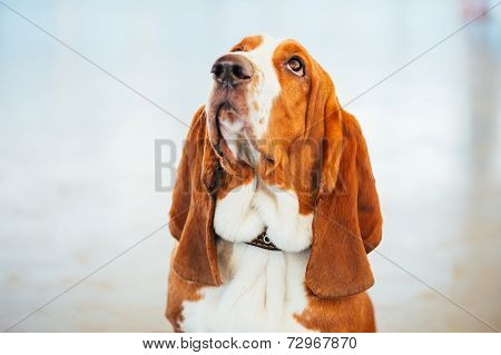 White And Brown Basset Hound Dog Close Up Portrait