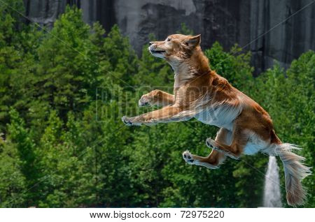 Golden Retriever Jumping Through The Air