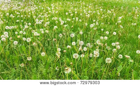 Abstract Background. Field Of Dandelions.