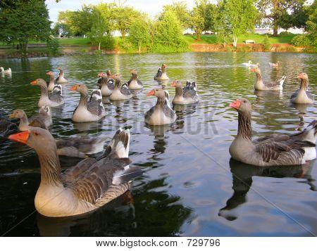 Attentive Ducks