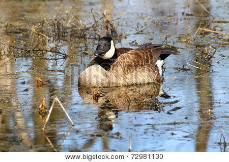 Canada Goose Illinois Wetland