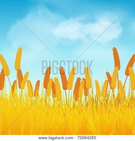 Wheat field on blue sky