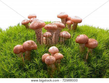 Honey agaric mushrooms