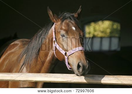 Headshot of a chestnut  colored horse