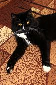 stock photo of prone  - nice black cat lolling about on the carpet - JPG