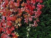 stock photo of creeper  - Red creeper plant on yew in autumn - JPG