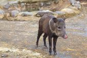 pic of wild hog  - Wild pig in the amazonian rain forest south america - JPG