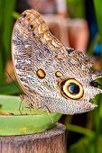 stock photo of cocoon tree  - Giant Caligo oileus the Oileus Giant Owl butterfly amazonian rain forest - JPG