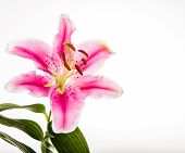 pic of lilly  - Lilly Flower Isolated On Pink  Background - JPG