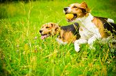 foto of puppy beagle  - two beagle dog on a green grass  - JPG