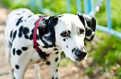 foto of firehouse  - a dalmatian on a green grass outdoors