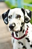 stock photo of firehouse  - a dalmatian on a green grass outdoors